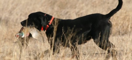 Retrieving Birds Training For Hunting Dog